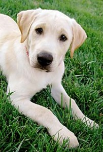 Labrador puppy laying on lawn